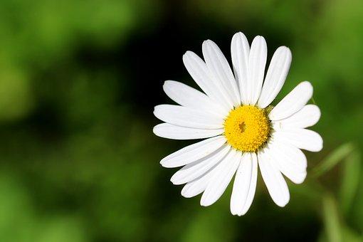 Flower, Daisy, Petals, Wildflower, White Flower, Bloom