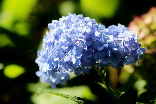 Flowers, Hydrangea, Plant, French Hydrangea