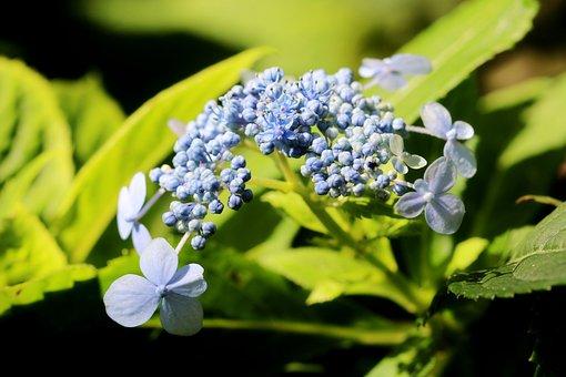 Flowers, Hydrangea, Plant, Tea Of Heaven, Wildflowers
