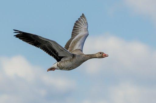 Goose, Flying, Wings, Spread, Soaring, Flight, Fly