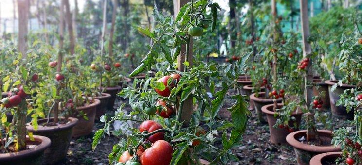 Tomatoes, Plants, Garden, Food, Fruit, Organic, Produce
