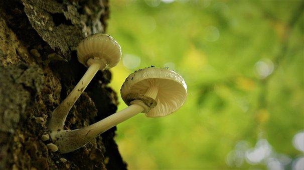Mushroom, Fungus, Fungi, Agaric, Porceleinzwam, Toxic