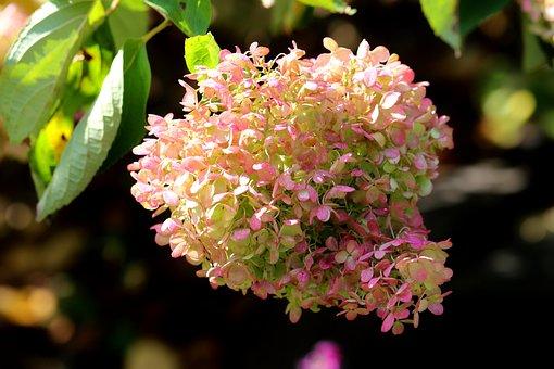 Flowers, Hydrangea, Garden, Peegee Hydrangea