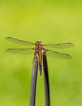 Dragonfly, Insect, Animal, Fauna, Nature, Closeup