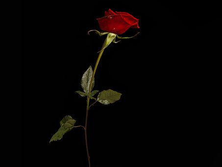 Rose, Flower, Single, Red Rose, Red Flower, Leaves