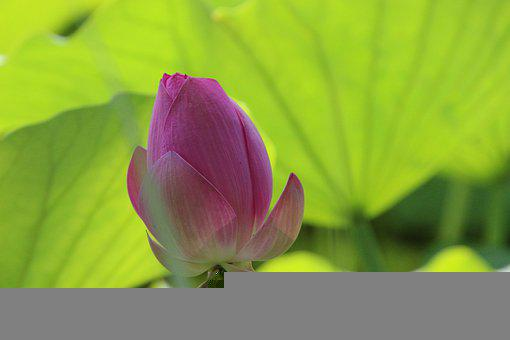 Bud, Flower, Lotus, Water Lily, Pink Flower, Bloom