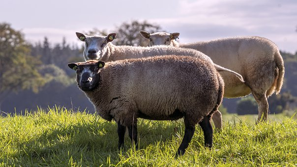 Sheep, Cattle, Wool, Animals, Mammals, Livestock