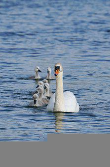 Family, Swans, Cygnets, Mother Swan, Young Swans, Lake
