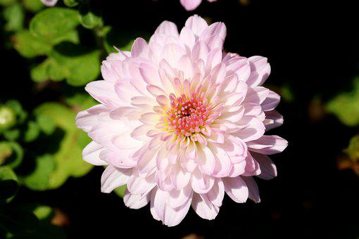 Flower, Chrysanthemum, Petals, Chrysanth, Mum
