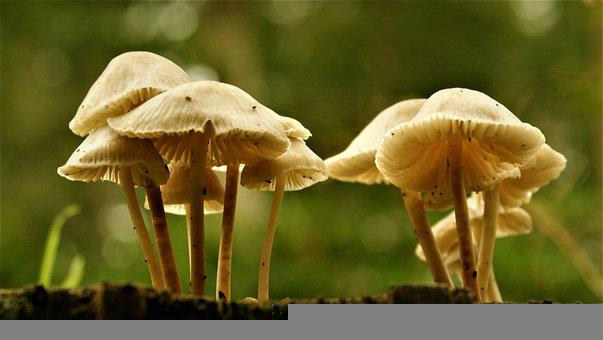 Mushroom, Fungus, Fungi, Agaric, Toxic, Mycology