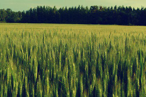 Field, Barley, Trees, Nature, Country, Agriculture