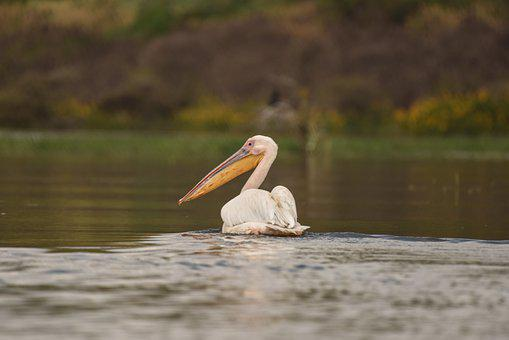 Pelican, Bird, Beak, Feathers, Plumage, Lake, Fauna