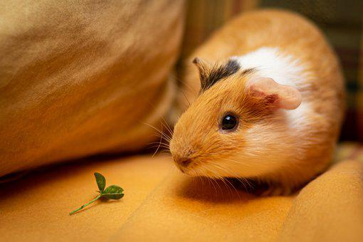 Guinea Pig, Sea ​​pig, Pet, Animal, Rodent