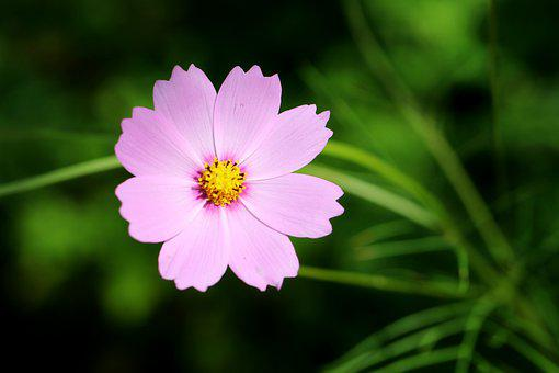 Flower, Cosmos, Petals, Pink Flower, Wildflower, Bloom