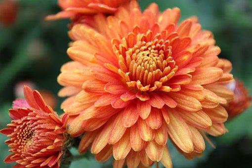 Flowers, Chrysanthemum, Petals, Bloom, Blossom
