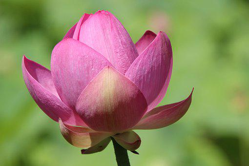 Flower, Petals, Lotus, Water Lily, Pink Flower, Bloom