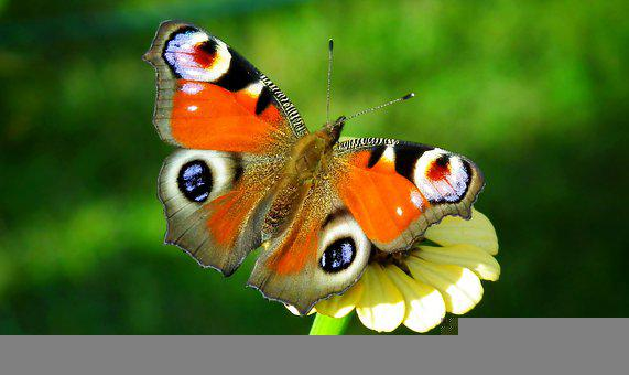Butterfly, Insect, Flower, Pollinate, Pollination