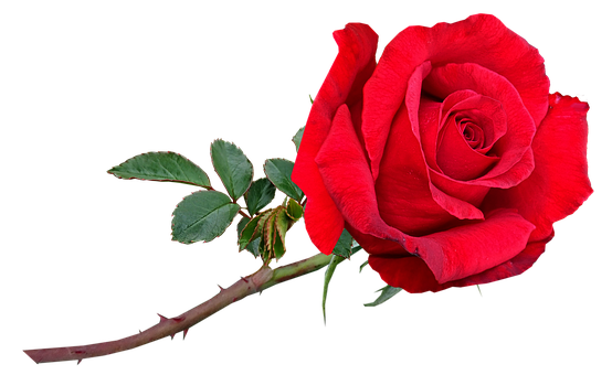 Flower, Stem, Red, Rose, Red Flower, Red Rose