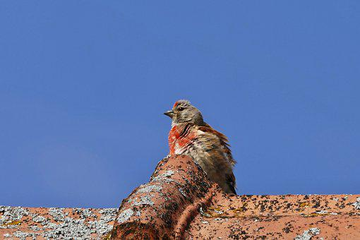 Bird, Roof, Perched, Small Bird, Perched Bird, Roofing