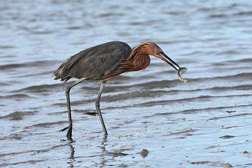 Heron, Fish, Catch, Beach, Sand, Sea, Ocean, Seashore