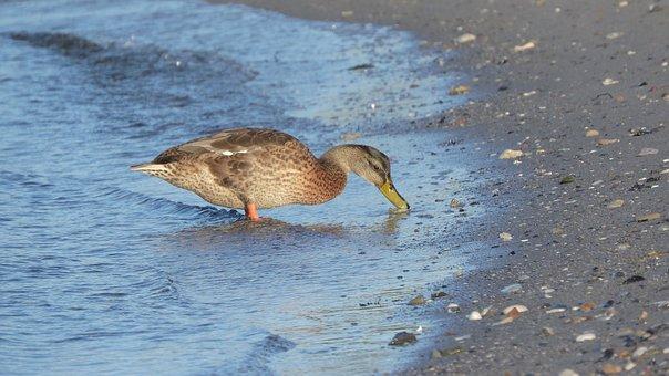 Duck, Mallard, Shore, Water, Bank, Beach