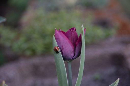 Tulip, Ladybug, Flower, Insect, Ladybird Beetle