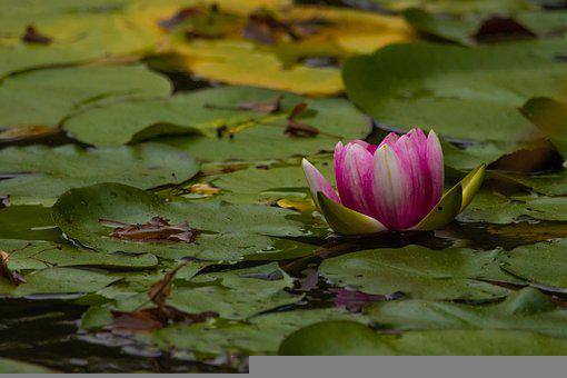 Water Lily, Lotus Flower, Lily Pads, Lotus Leaves