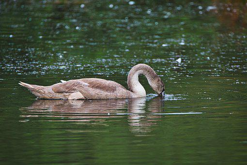 Swan, Bird, Lake, Waterfowl, Water Bird, Plumage