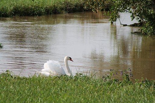 Swan, Bird, Pond, Wetlands, Bank, Grass, White Swan