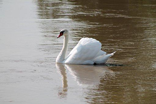 Swan, Bird, Pond, Lake, White Swan, White Feathers