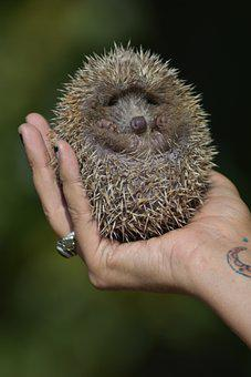 Hedgehog, Fuzzy, Spikes, Spiky, Spiny, Mammal, Animal