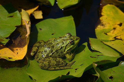 Frog, Green, Pond, Lily Pads, Leaves, Aquatic Plants