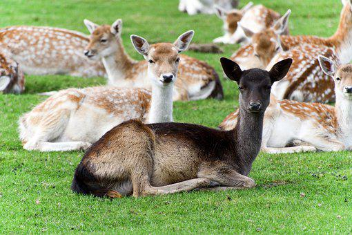 Roe Deer, Young Deer, Herd, Herd Of Deer, Axis Deer