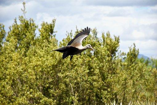 Bird, Animal, Flying, Hadeda, Hadada Ibis, Flight