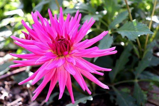 Dahlia, Flower, Petals, Pink Flower, Bloom, Blossom