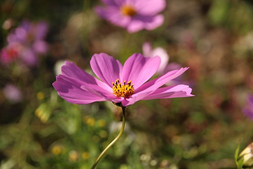Cosmos, Flower, Bloom, Blossom