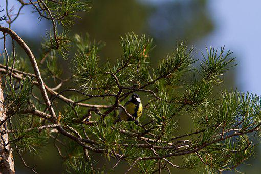 Great Tit, Bird, Branches, Tree, Perched, Perched Bird