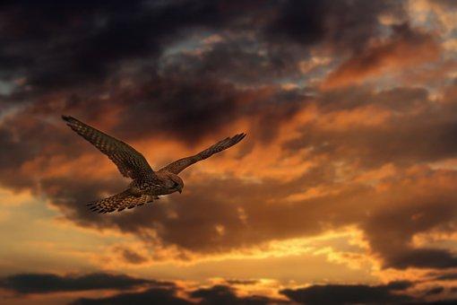 Buzzard, Raptor, Bird, Bird Of Prey, Common Buzzard