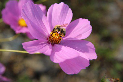 Cosmos, Flower, Bee, Pollinate, Pollination, Pollen
