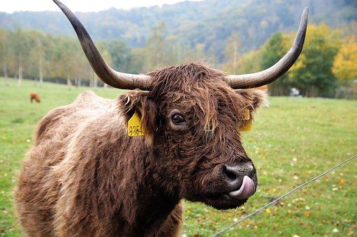 Cow, Cattle, Farm, Scottish Highland Cattle