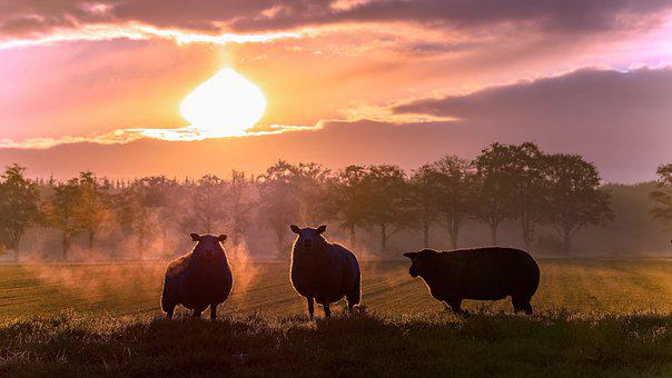 Sheep, Farm, Sun, Livestock, Sheep Husbandry