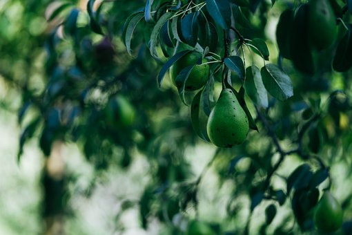 Pears, Tree, Fruit, Leaves, Farm, Food, Healthy