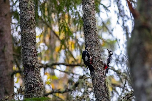 Great Spotted Woodpeckers, Trees, Birds, Pair