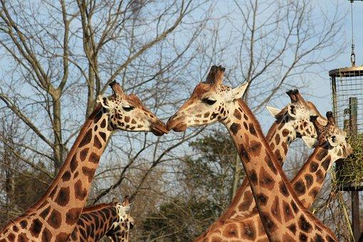 Giraffes, Heads, Ossicones, Long Neck, Giraffe Heads