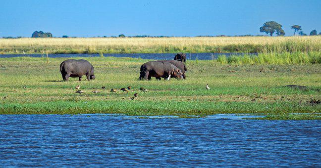 Hippo, Hippopotamus, Animals, Mammals