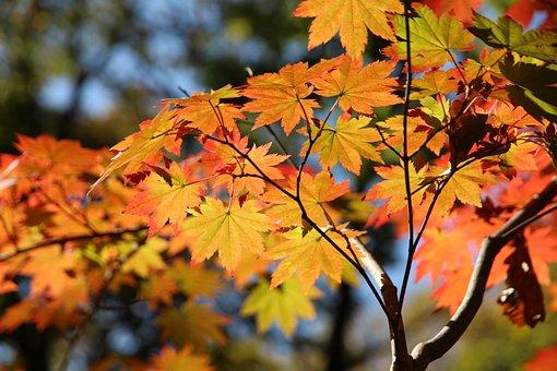 Maple, Leaves, Autumn, Tree, Maple Tree