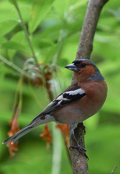 Chaffinch, Males, Branch, Young Bird, Green, Portrait