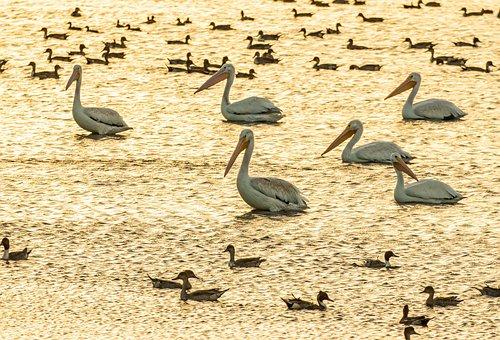 White Pelicans, Flock, Ducks, Birds, Pelicans