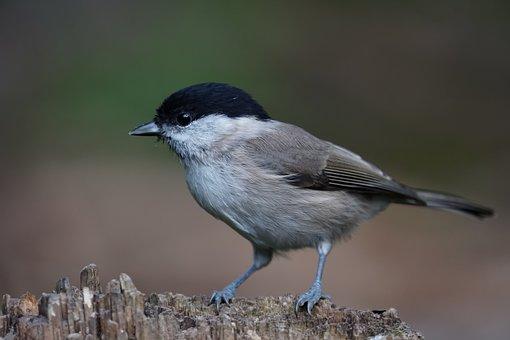 Marsh Tit, Tit, Bird, Small Bird, Perched, Perched Bird