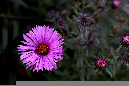 Aster, Flower, Petals, Bloom, Blossom, Flowering Plant